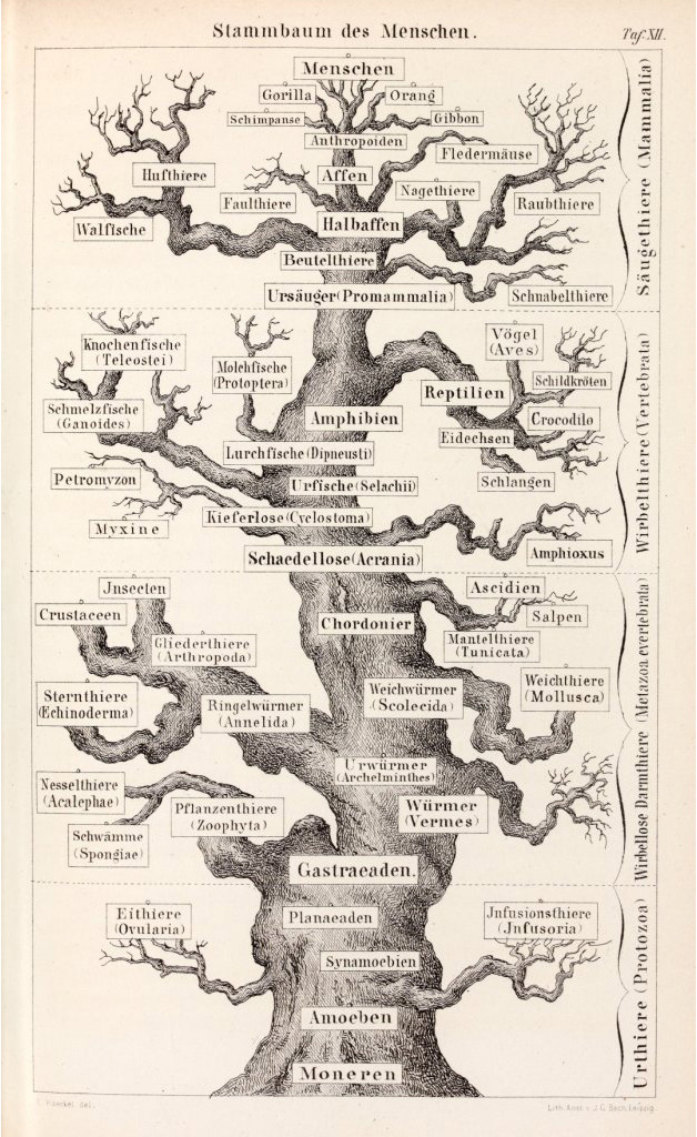 Ascent  Descent  and Divergence  Darwin and Haeckel on the Human Family Tree   Gliboff   Konturen